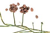 Stachybotrys toxic mould,illustration