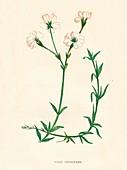 Field Chickweed, c1891, (1891)