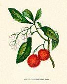 Arbutus, or Strawberry Tree, c1891, (1891)