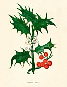 Common Holly, c1891, (1891)