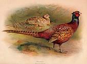 Pheasant (Phasianus colchicus), 1900, (1900)