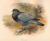 Stock Dove (Columba aenas), 1900, (1900)