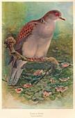 Turtle Dove (Turtur auritus), 1900, (1900)