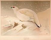 Ptarmigan (Lagopus mutus), 1900, (1900)