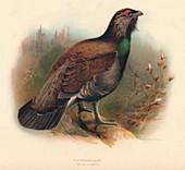 Capercaillie (Tetrao urogallus), 1900, (1900)