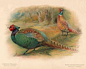 Japanese Pheasant, Ring-Necked Pheasant, 1900