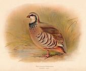 Red-Legged Partridge (Caccabus rufa), 1900, (1900)