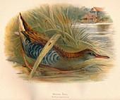 Water Rail (Rallus aquaticus), 1900, (1900)