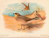 Common Pratincole, Sociable Lapwing, 1900