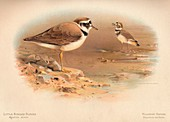 Little Ringed Plover, Killdeer Plover, 1900
