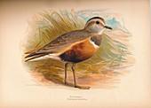 Dotterel (Eudromias morinellus), 1900, (1900)