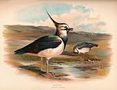 Lapwing (Vanellus cristacus), 1900, (1900)