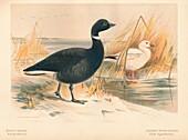 Brent Goose, Lesser Snow Goose, 1900