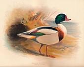 Common Sheldrake (Tadorna cornuta), 1900, (1900)