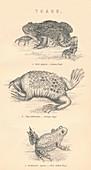 Toads, 1885