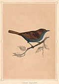 Hedge Sparrow, (Prunella modularis), c1850, (1856)