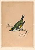 Golden Crested Wren, (Regulus regulus), c1850, (1856)