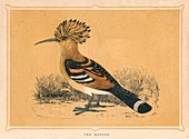 The Hoopoe, (Upupa epops), c1850, (1856)