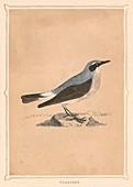 Wheatear, (Oenanthe), c1850, (1856)