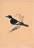 Flycatcher, (Muscicapidae), c1850, (1856)