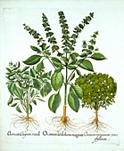 Holy Basil, and Two Further Varieties of Basil