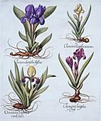 Dwarf Bearded Irises
