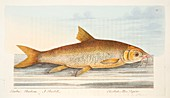 Barbel, from A Treatise on Fish and Fish-ponds, 1832
