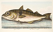Haddock, from A Treatise on Fish and Fish-ponds, 1832