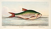 The Roach, from A Treatise on Fish and Fish-ponds, 1832