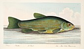 The Tench, from A Treatise on Fish and Fish-ponds, 1832