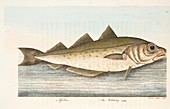 Whiting, from A Treatise on Fish and Fish-ponds, 1832