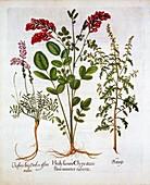 French Honeysuckle, Common Sainfoin and Feather Geranium