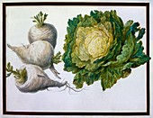 Turnip, Cabbage
