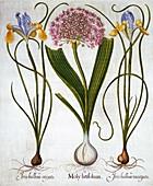 Purple Sensation, and Spanish Irises