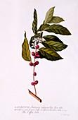 The Coffee Tree, c1743