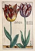 Tulips (Tulipa Adriani Bilsi and Tulipa Nob viri), c1614