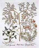 White Cedar, Self-Heal and Yellow Bugle