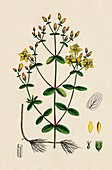 Waved-leaved St John's Wort (Hypericum Boeticum)