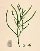 Grass-wrack-leaved Pondweed, 19th Century