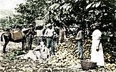 Opening cocoa pods, Trinidad, Trinidad and Tobago, c1900s