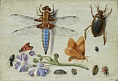 Cockchafer, Beetle, Woodlice and other Insects, early 1650s