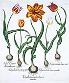 Five tulips, 1613