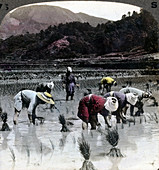 Transplanting rice in a paddy field, Japan, 1904
