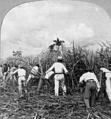 Harvesting sugar cane, Rio Pedro, Porto Rico, 1900