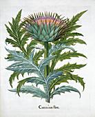 Cardoon, 1613