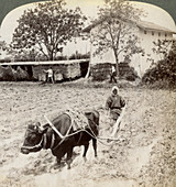 Ploughing flooded ground for rice planting, Japan, 1904