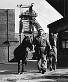 Pit ponies, South Yorkshire, 1967