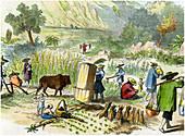Chinese harvest, Hong Kong, c1875