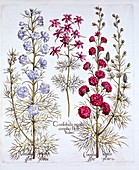 Varieties of Larkspur, from 'Hortus Eystettensis'