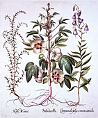 Jamaica Sorrel, Bellflower and Prickly Saltwort